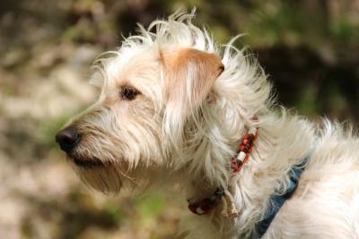 Hundeflohband
