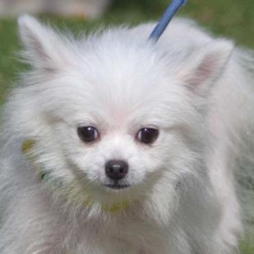 Hund - Pomeranian