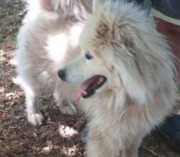 Hund - Samojede