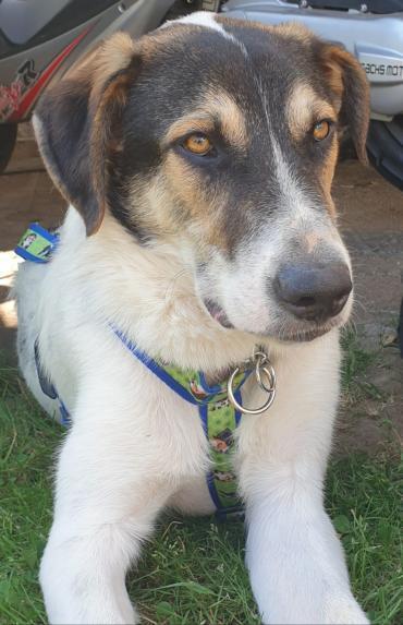 Hund - Griechischer Schäferhund