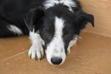 Hund - Border-Colli-Mix