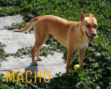 Hund - Pinscher - Podenco -Mischling