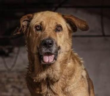 Hund - Herdenschutzhund-Mischling
