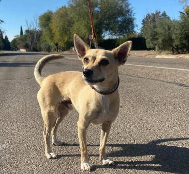 Hund - Chihuahua Mischling