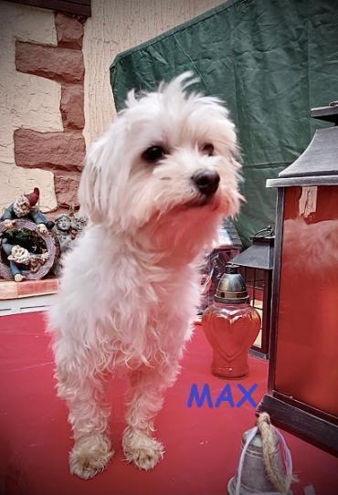 Hund - Malteser