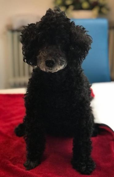 Hund - Pudel