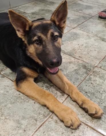 Hund - Deutscher Schäferhund