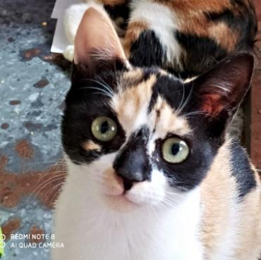 Katze - Europäisch Kurzhaar