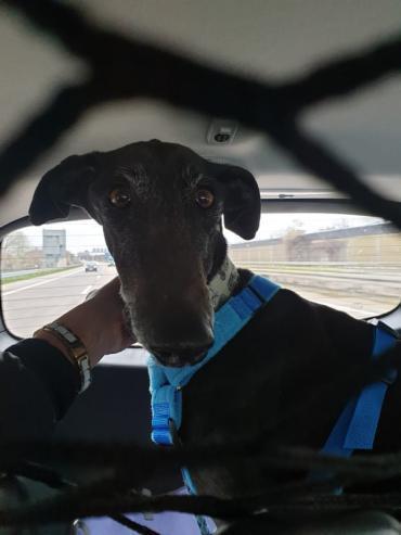 Hund - Galgo Espanol