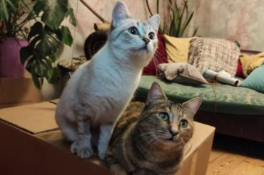 Katze - Siam-Mix und EKH