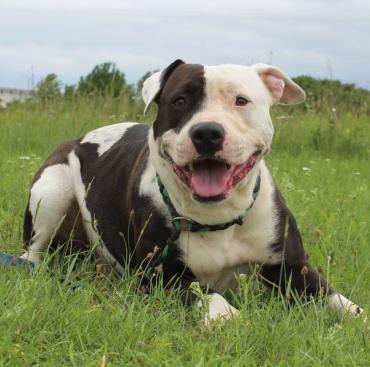 Hund - Amerikanischer Staffordshire-Terrier