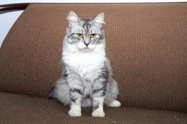 Katze - Sibirische Waldkatze
