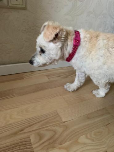 Hund - West Highland White Terrier