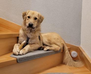 Hund - Retriever-Mischling, Rüde