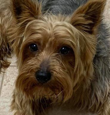 Hund - Yorkshire Terrier