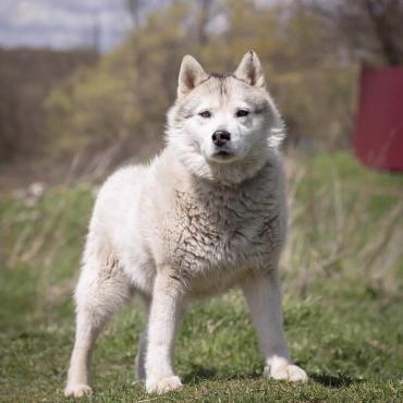 Hund - Siberian Husky