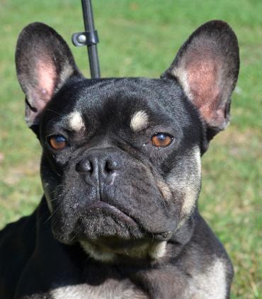 Hund - Französische Bulldogge
