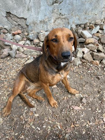 Hund - Rhodesian Ridgeback